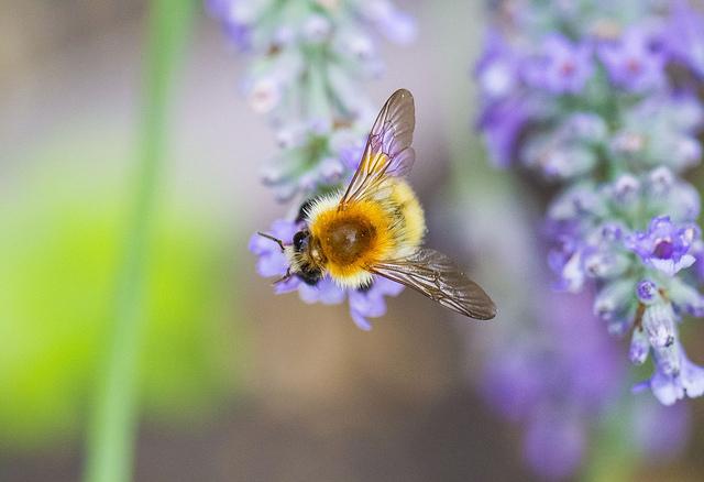 LavenderEdibleFlower
