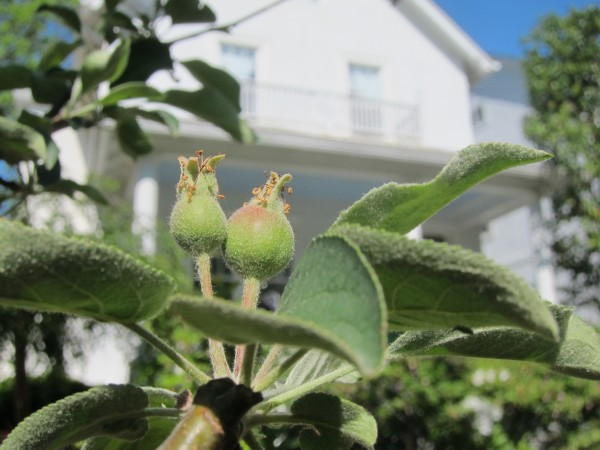 A front yard mini-orchard is born