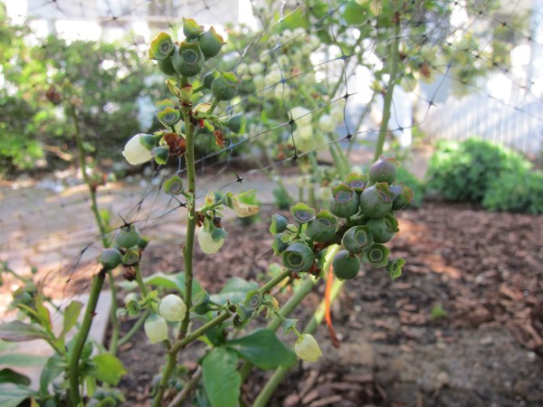 Blueberries growing in a front yard garden