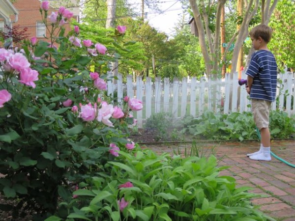 Mark watering the vegetable garden and new fig tree.