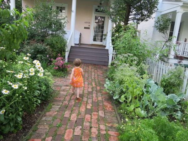 Front yard garden with daisies, chamomile, kohlrabi, purple carrots, borage, and sugar-snap peas.