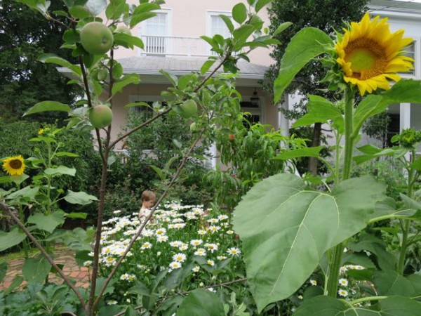 Sunflowers were surprise guests in our garden this year, apparently planted by birds among the apples, peaches, and daisies.