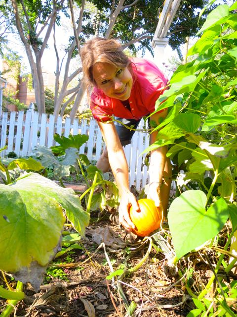 Pumpkins that grew from last fall's planting of jack-o-lantern seeds